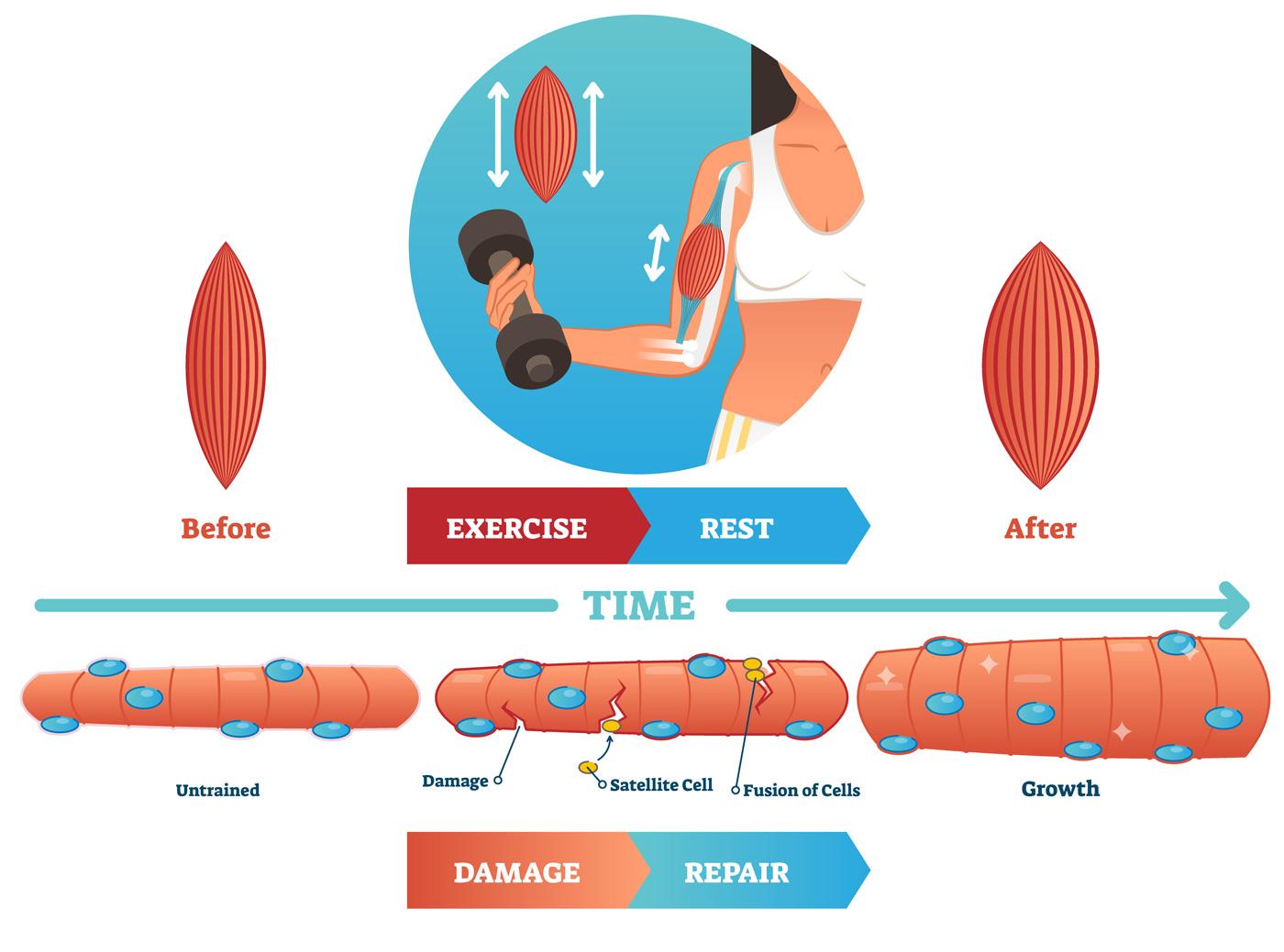 comment prendre du muscle