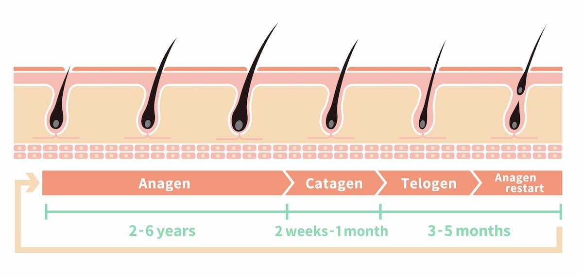 cycle de vie du poil